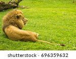 Lying Lion In The Grass