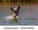 Natural Gray Goose  Anser Anse...