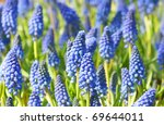 field with lovely blue muscari flowers - stock photo