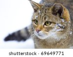 Wild Cat  Felis Silvestris  In...