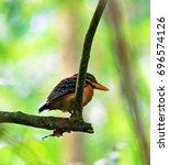 Small photo of Female Rufous-collared Kingfisher (Actenoides concretus) in nature habitat
