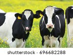 Two Cows Facing The Camera In...
