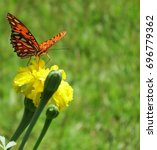 Small photo of Gulf Fritillary (scientific Agraulis vanillae). Beautiful, large orange and black butterfly in garden with grassy background, feeding on yellow Marigold (scientific Tagetes) bloom. Alabama summer.