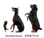 Stock photo group of dogs chihuahua doberman rottweiler isolated on white background studio shot 69687514