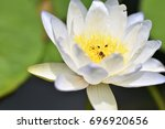 A White Water Lily Blooms In...