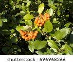 pyracantha decorative berry bush | Shutterstock . vector #696968266