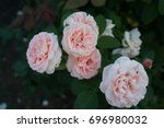 Stock photo beautiful roses in the garden 696980032