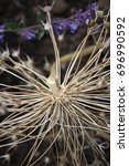 Small photo of Dried agapanthus heads
