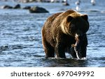 Small photo of Kodiak brown bear fishing in Karluk River