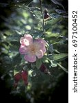 Small photo of Blossoming dog-rose and already with fruits.
