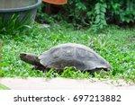 Tortoise Walking In Green Grass.