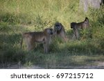 Small photo of Wild African Olive Baboon Group