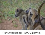 Small photo of Wild African Olive Baboon with baby