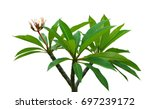 plumeria  frangipani  leaf and... | Shutterstock . vector #697239172