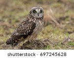 Stock photo short eared owl 697245628