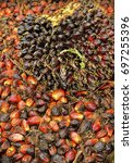 close up of fresh oil palm... | Shutterstock . vector #697255396