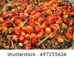 close up of fresh oil palm... | Shutterstock . vector #697255636