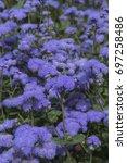 Small photo of Ageratum houstonianum Blue Horizon