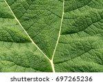 gunnera leaf. giant gunnera... | Shutterstock . vector #697265236