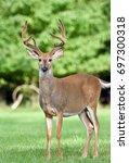 White Tailed Buck Deer ...