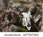 Small photo of Ram Skull with Horn on a ram..