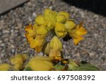"""Small photo of Carnivorous """"Yellow Unicorn Plant"""" flower (or Devil's Claw, Gemshorn) in St. Gallen, Switzerland. Ibicella Lutea is native to South America. It kills preys with sticky leaves and stalks."""