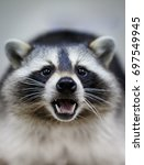 raccoon | Shutterstock . vector #697549945