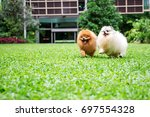 Pomeranian Dog Running On Green ...