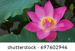 single lotus flower. background ... | Shutterstock . vector #697602946
