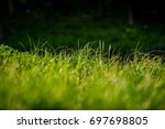 Shoots Of A Young Green Grass...