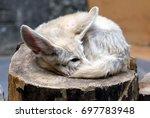 fennec fox  vulpes zerda   the... | Shutterstock . vector #697783948