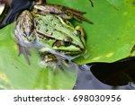 common water frog adult and... | Shutterstock . vector #698030956