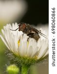 Small photo of Macro of Caucasian little Caucasian gray-brown fly sprout Delia platura sitting in yellow-white flower Erigeron canadensis in the rain