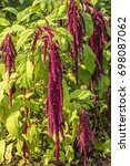 Small photo of Amaranth plant much