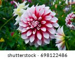 Dahlias In Several Colors With...