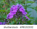 Purple Phlox Closeup On The...