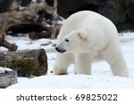 Polar bear (Ursus maritimus) in the snow - stock photo