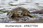 Green turtle (Chelonia mydas) near Kona (Big Island, Hawaii) 03 - stock photo
