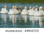 Flock of white geese swimming on a pond