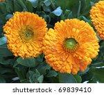 two calendula flowers  natural... | Shutterstock . vector #69839410
