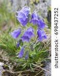 Small photo of Campanula alpina, perennial bellflower in bloom in the grass, High Tatra mountains, Slovakia