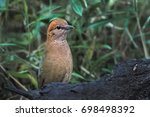 Small photo of Rusty naped Pitta