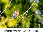 male house finch perched on a... | Shutterstock . vector #698513206