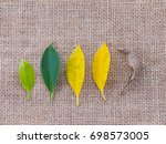 leaf of different age  young... | Shutterstock . vector #698573005