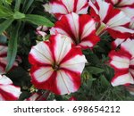 Red White Petunia