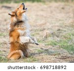Dog Howling In A Field
