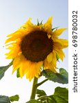 Sunflower Isolated In The...