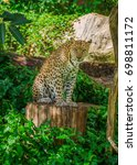 leopard is sitting on a timber | Shutterstock . vector #698811172