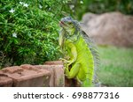The Green Iguana  Also Known A...
