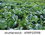 cabbage in the garden. | Shutterstock . vector #698910598